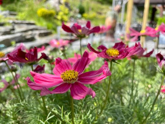 Cosmos i blomst.