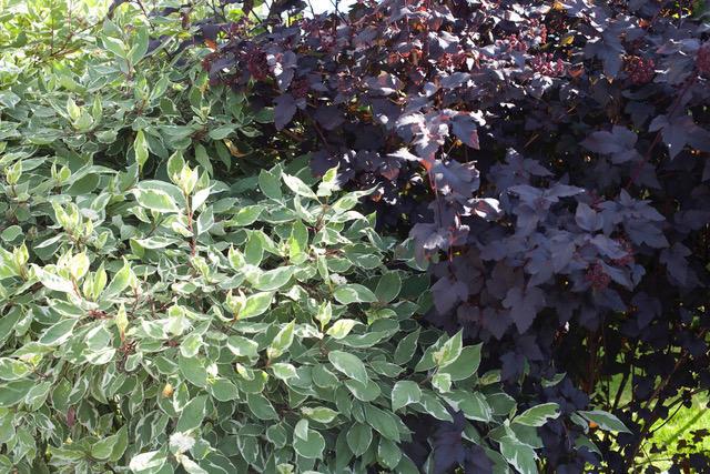 Busker med grønne og hvite blad mot mørke, nesten burgunderfargede.