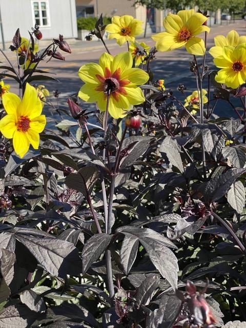 Gule dahlia med svarte blad