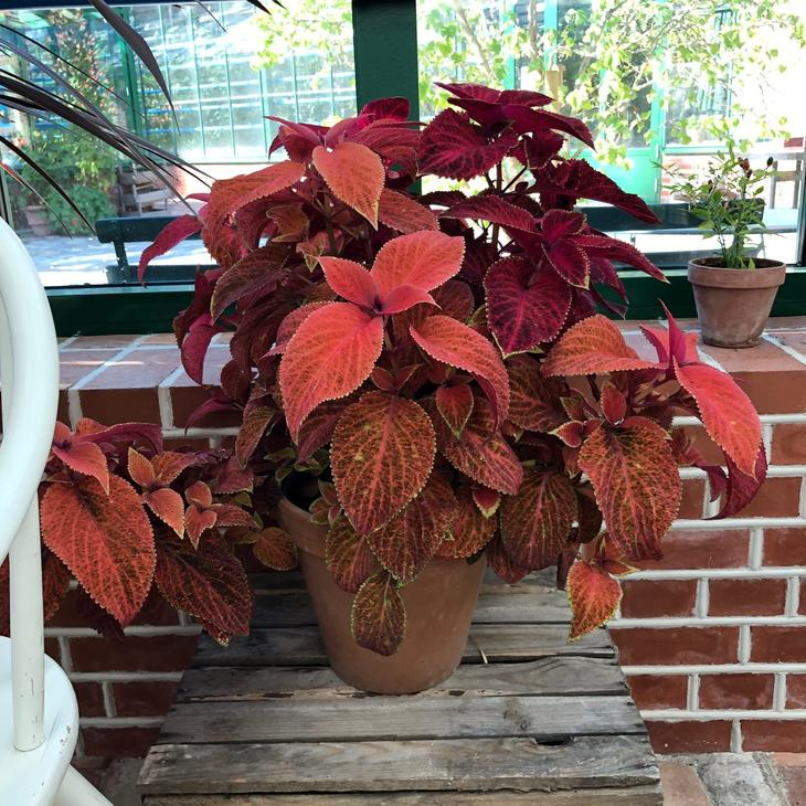 Praktspragle i rustrød farge