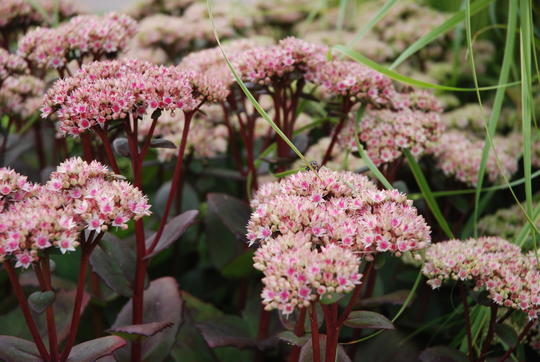 Mørk burgunder oktoberbergknapp med små, rosa blomster