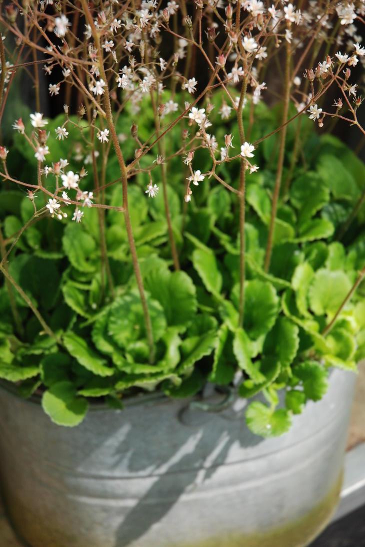 Hvite blomster i sinkpotte