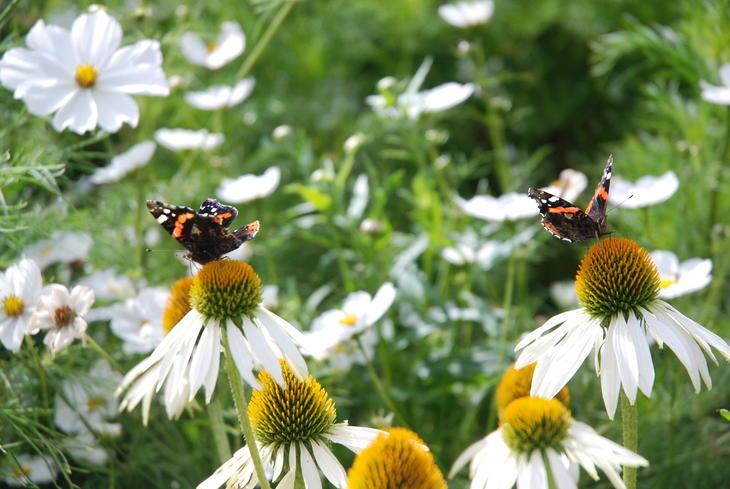 sommerfugler på hvite blomster.
