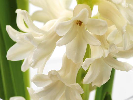 Hvit svibelblomst