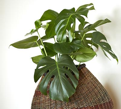 Grønnplanten vindusblad i kurvpotte