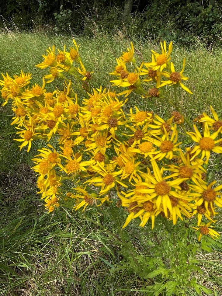 Landøyda (Senecio jacobaea) i blomst