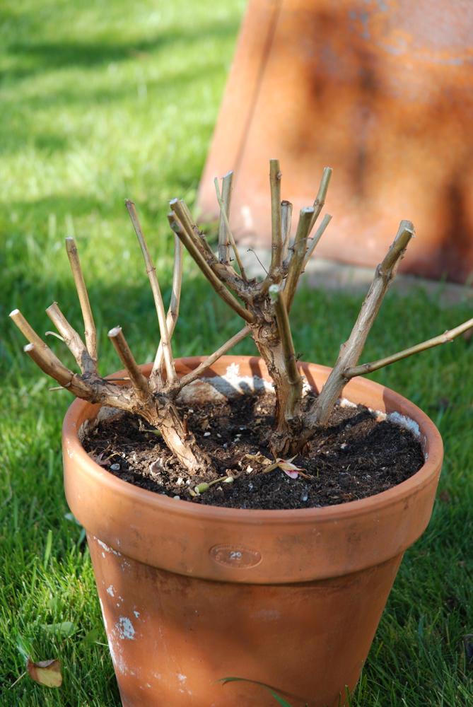 En fuksiaplantei terrakottapotte. Uten blad, hardt tilbakeskåret.
