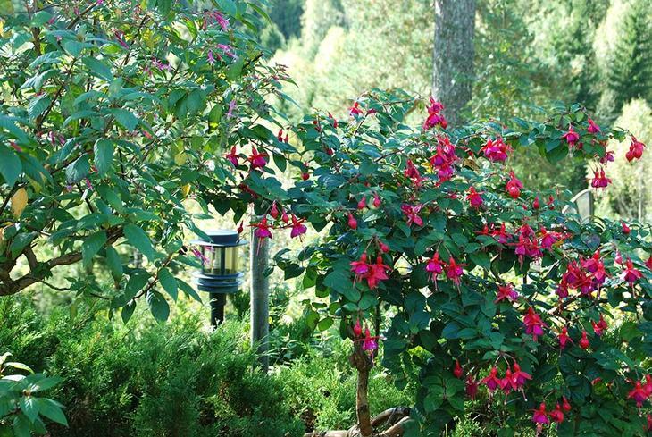 Gammelt fuksiatre med rosa og lilla blomster. Mellom andre planter i et blomsterbed.
