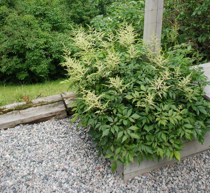 En astilbe plantet i en trekasse omkranset av grusdekke.