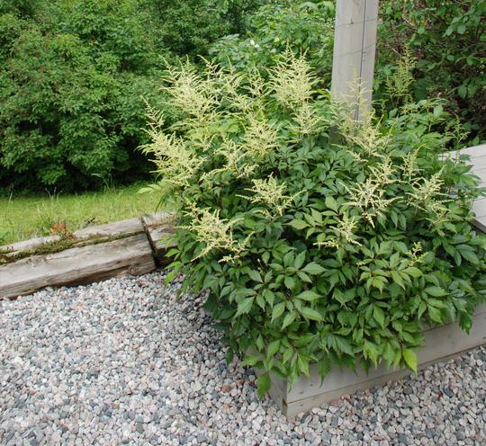 Grusdekke rundt en plantekasse med astilbe.