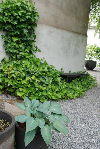 Et inngangsparti med grusdekke beplantet med eføy og en bladlilje i potte.