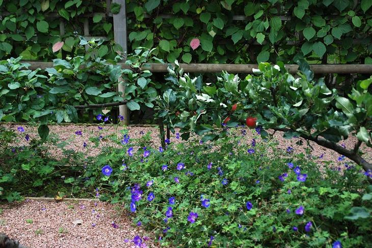 Rød grus rundt en beplanting av blålilla geranium og en spaliert eplehekk.