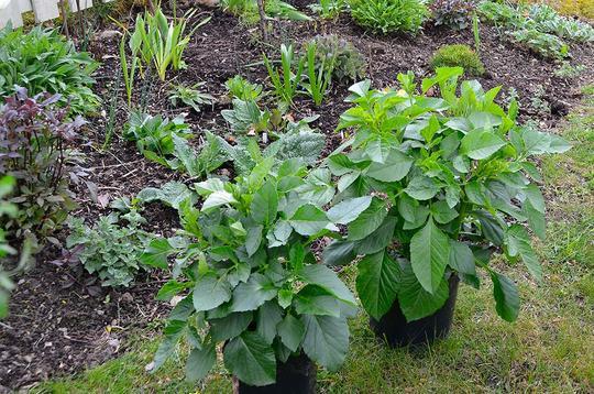 To dahliaplanter klare for utplanting i bed i hagen.