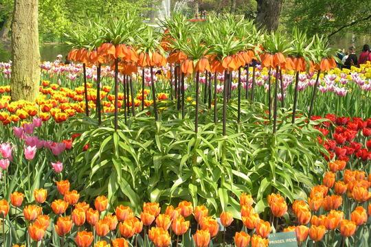 Keiserkrone i samplanting med tulipaner.
