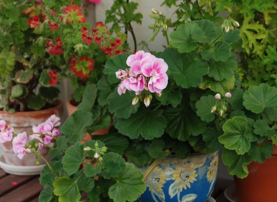 Rosablomstret pelargonia i en blå potte