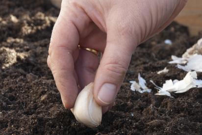 Et fedd fra setteløken stikkes i jorda, med spissen opp.