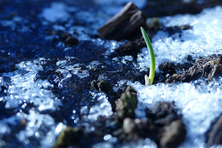 Hvitløkspiren stikker opp av jorda mellom is og snø.