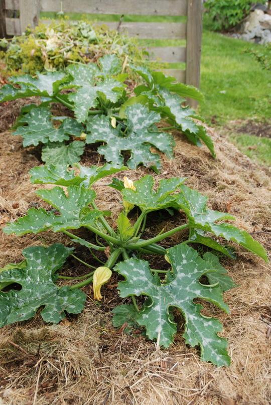 Stor squashplante vokser i en komposthaug