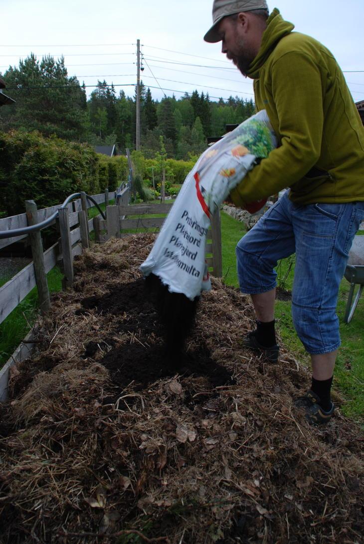 Jord legges i hull hvor squashplantene skal plantes i komposthaugen