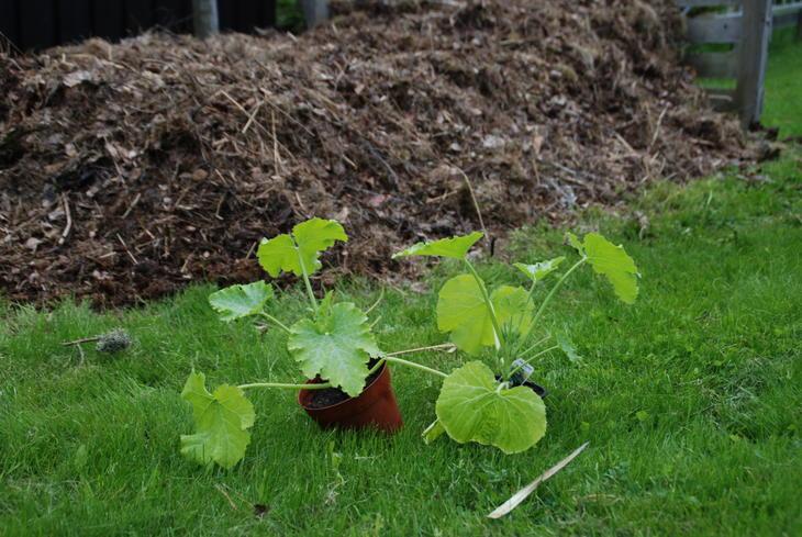 Squashplanter er klare for platning