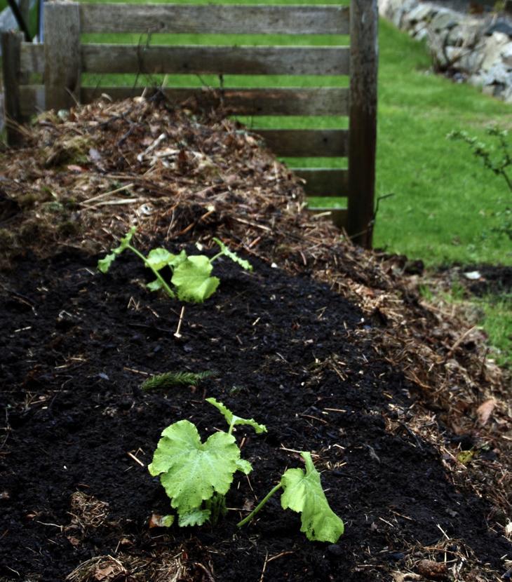 Squashplanter er plantet i komposthaugen