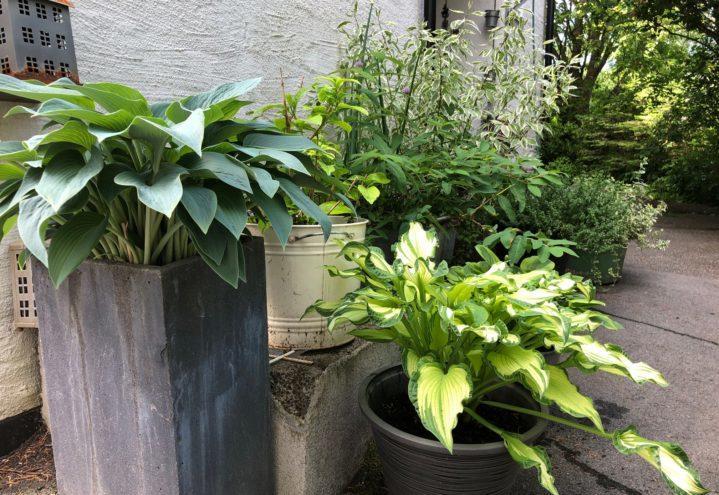 En samling stauder og busker i potte ved et inngangsparti.