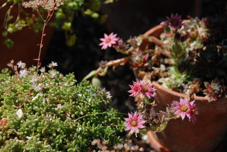 Sukkulenten takøk med rosa blomster.