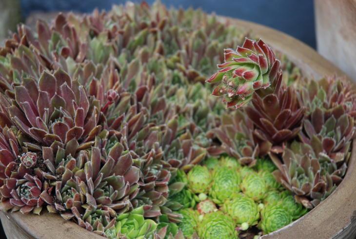 Sukkulenten takløk med blomst i en brun potte.