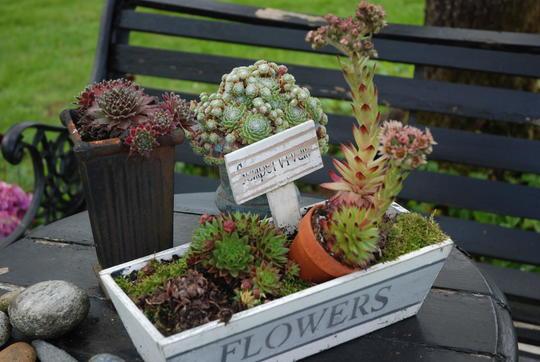 Vakker samplanting av ulike takløkplanter i en hvit kurv.
