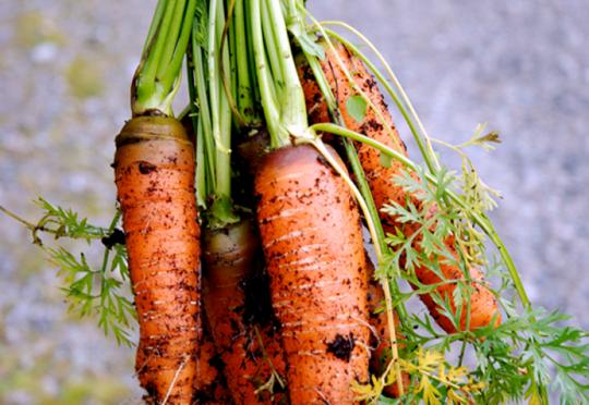 Bilde av nyhøstede gulrøtter