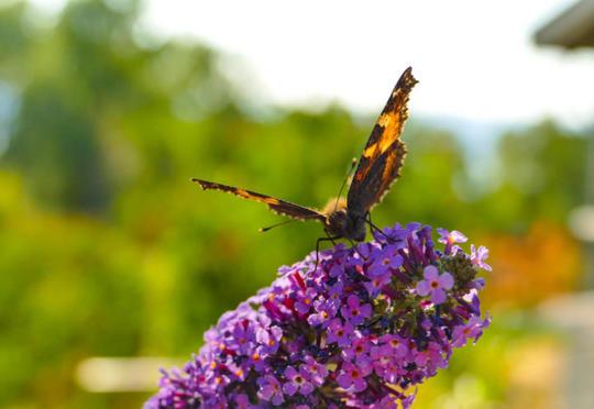 Sommerfugl sitter på en blomst av sommerfuglbusk og drikker nektar.