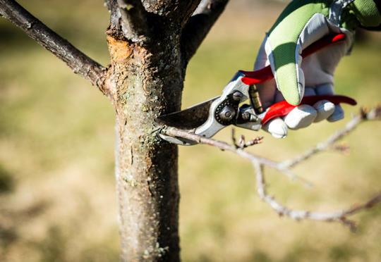 En behansket hånd klipper av en grein med en rød hagesaks.
