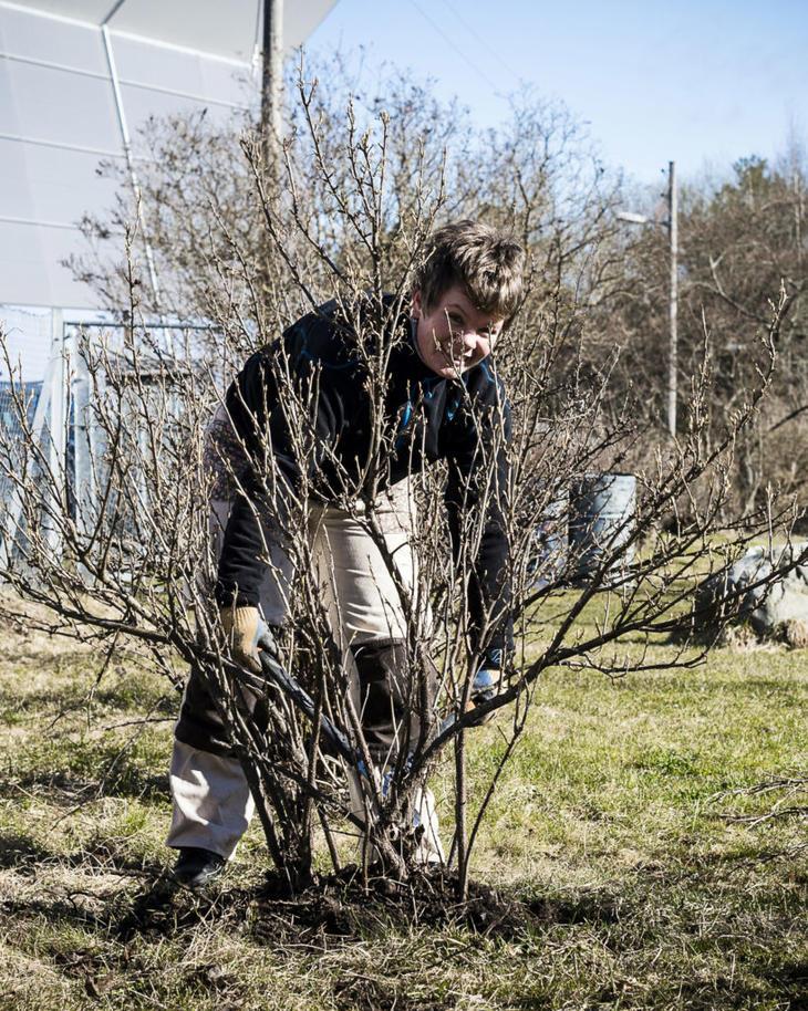 Hageselskapets gartner Marianne beskjærer en busk med greinsaks.