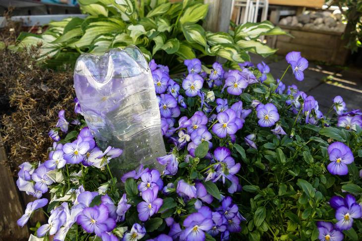 Brusflaske opp-ned i en blå stemorsplante.