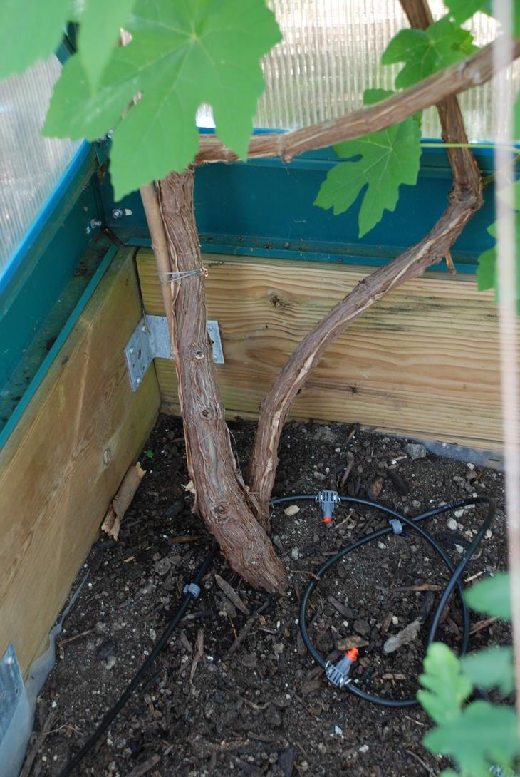 Vindrue i drivhus vannes med dyser fra et vanningsanlegg.