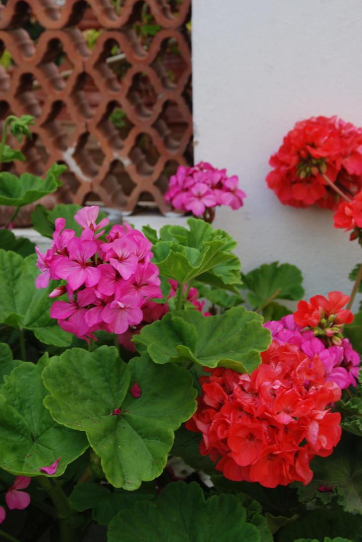 Pelargonia i sterke farger røde og rosa farger skaper  middelhavsstemning hagen.