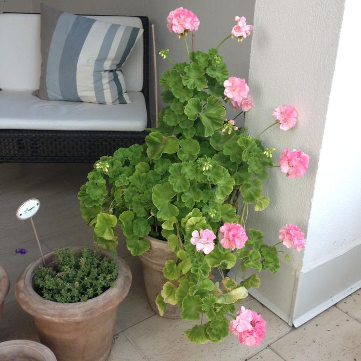 Sommerstemning på terrassen med pelargoniablomstring.