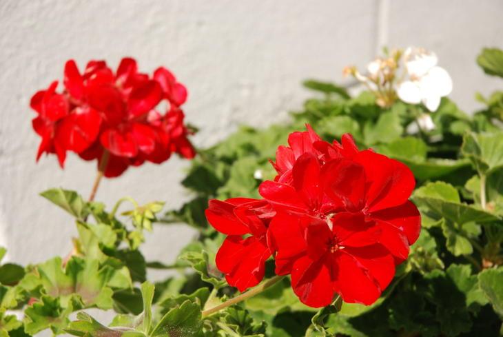 Rampete rød pelargonia lyser opp i blomsterbedet.