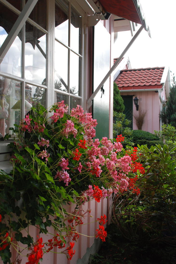 Hengepelargonia i rosa og rødt i blomsterkasse under vinduet.