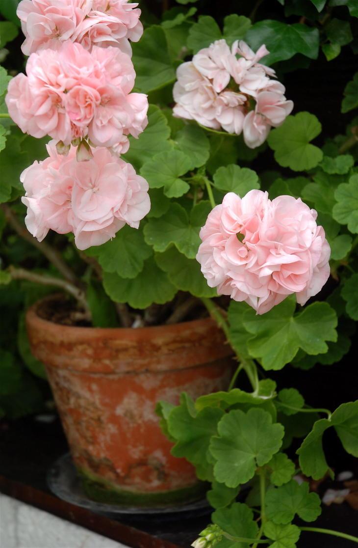 Klassisk rosa pelargonia i terrakottapotte.