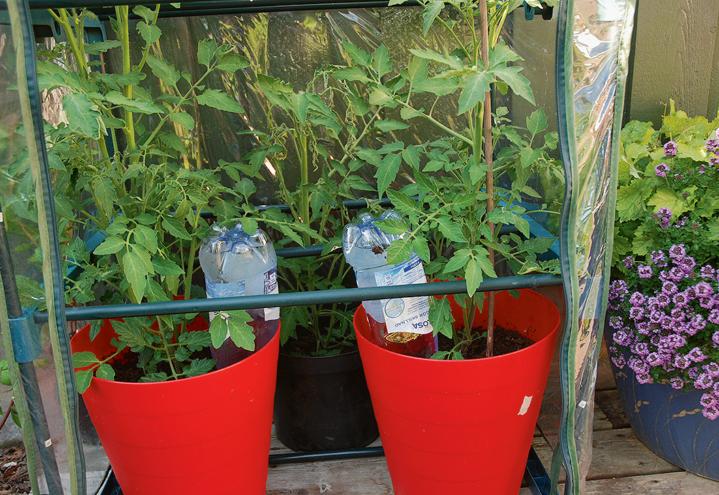 Tomatplanter med brusflasker med vann i, dyrkes i røde søplebøtter i et minidrivhus.