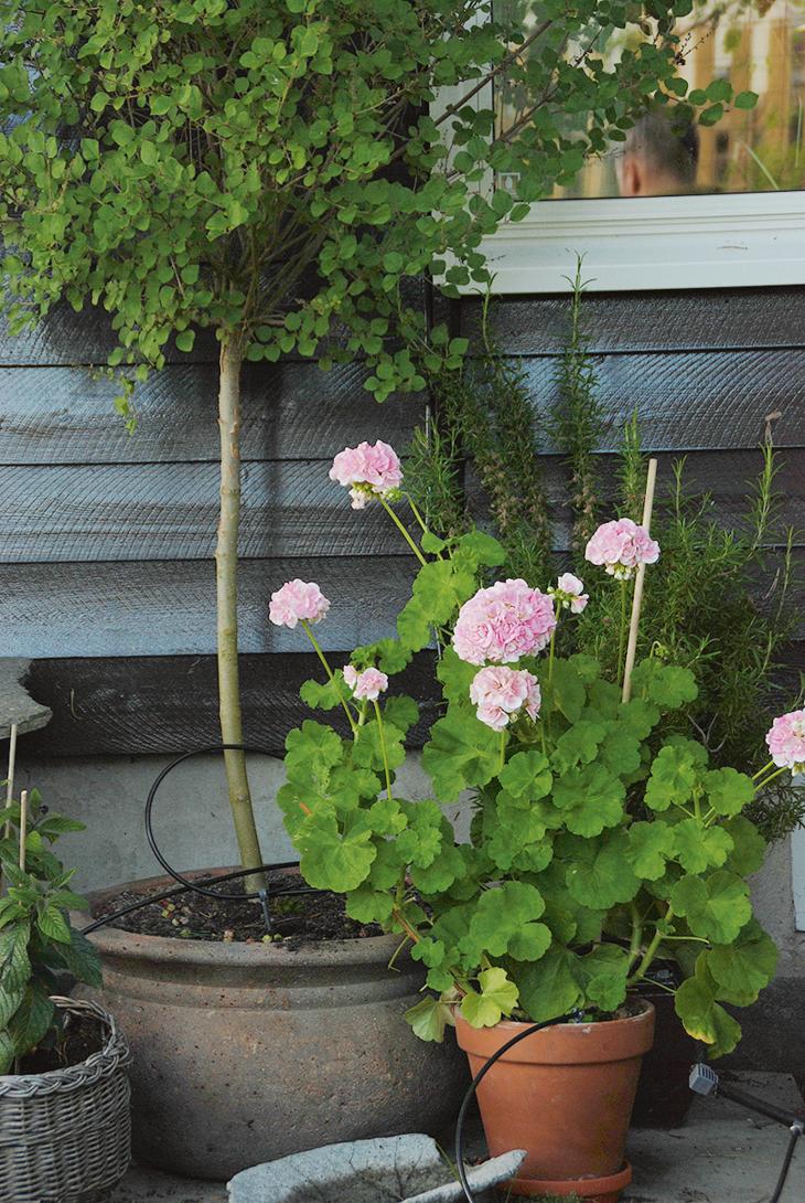 Dvergsyrin, pelargonia og rosmarin i potter satt inntil en vegg. Dryppvanning i pottene.
