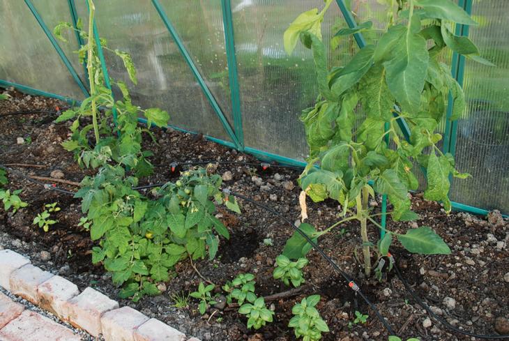 Tomatplanter med dryppvanning i veksthus.
