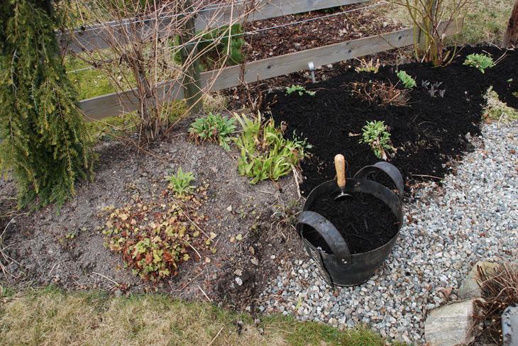 Kompost tilføres i et blomsterbed med stauder og roser tidlig om våren.