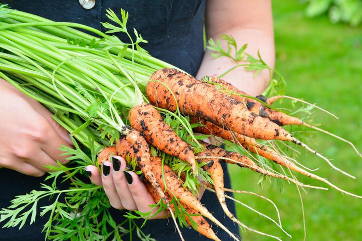 Gulrøtter høstet av ung dame med svart neglelakk.
