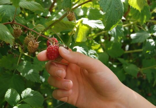 Plukker rødt, fint bringebær på busken