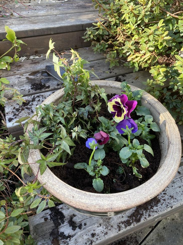 Planter stemorsplanter i potte