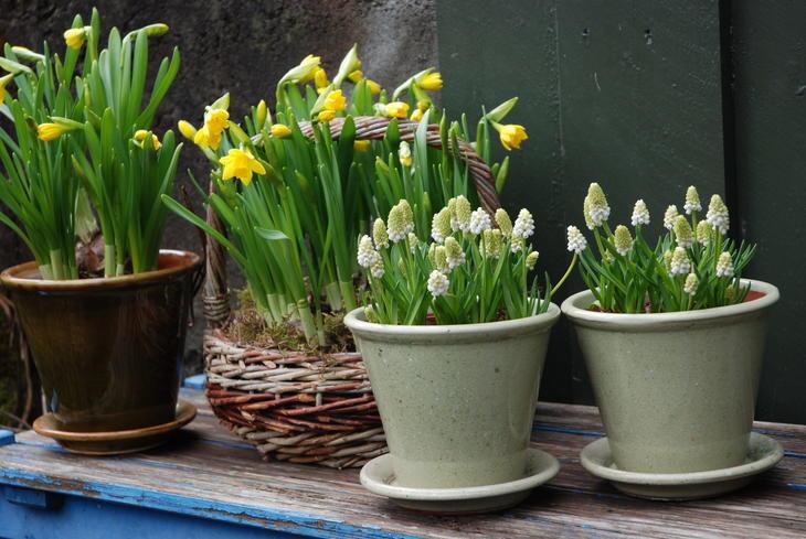 Perleblom og påskeliljer i potter.
