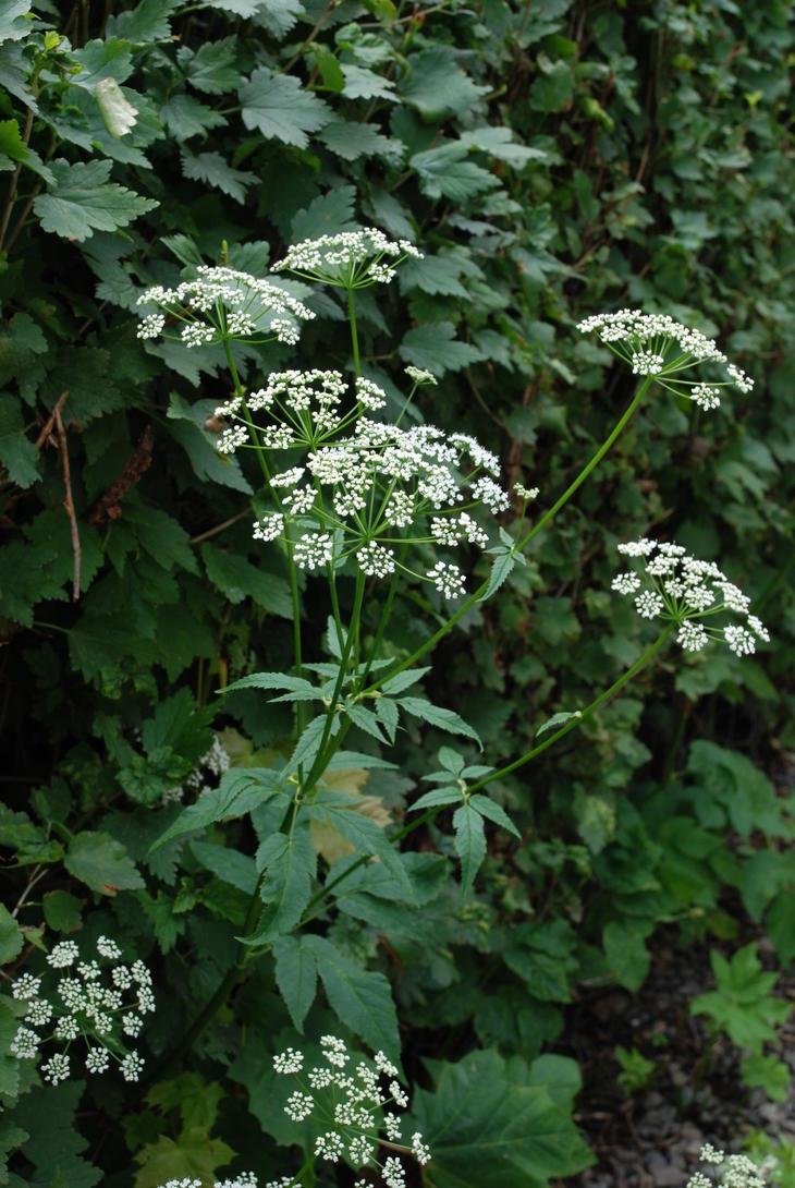 Skvallerkål i blomst med hvite små blomster