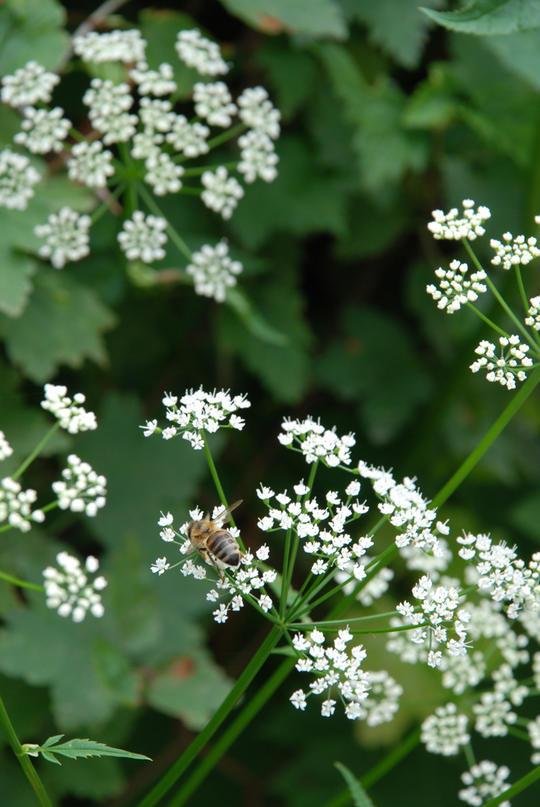 Ugresset skvallerkål i blomst med små hvite blomster og en blomsterflue